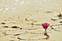 Lotusblomma i laken Arkivbild