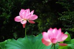 Lotusblomma i sommar Fotografering för Bildbyråer