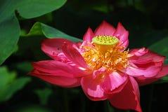 Lotusblomma i sommar Arkivbild