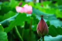 Lotusblomma i sommar Arkivfoton