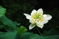 Lotusblomma i sommar Royaltyfria Foton