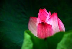 Lotusblomma i sommar Royaltyfri Bild