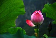 Lotusblomma i sommar Arkivfoto