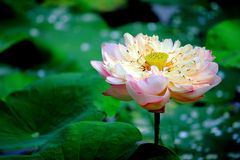 Lotusblomma lake Royaltyfri Bild