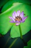 Lotusblomma med biet Royaltyfri Foto