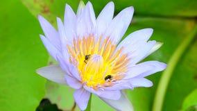 Lotusblomma och bi arkivfilmer