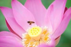 Lotusblomma och bi Arkivbilder