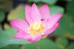 Lotusblomma och bi Royaltyfria Bilder