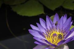 Lotusblomma och bi Arkivfoto