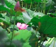 Lotusblomma och leaf Fotografering för Bildbyråer