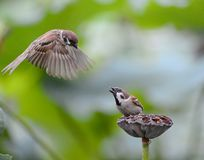 Lotusblomma och sparrows Royaltyfria Bilder