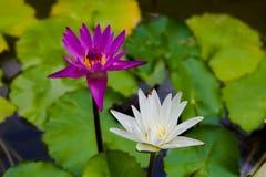 Lotusblomma två på ett damm arkivbild