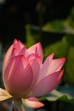 Lotusblomma under sunshinen Arkivfoton