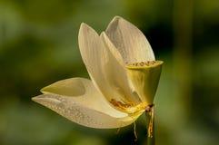 Lotusblommablom Royaltyfri Bild