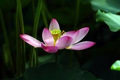 Lotusblommablomma arkivbild