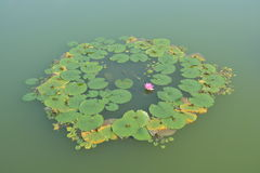 Lotusblommablomma i blom Royaltyfria Foton