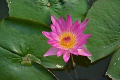 Lotusblommablomma i blom Arkivfoto