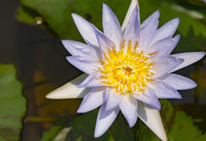 lotusblommablomma i natur Royaltyfri Fotografi