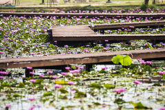 Lotusblommablomma på vattnet Arkivbild