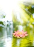 Lotusblommablomma på vattnet Royaltyfri Foto