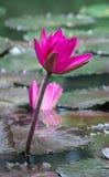 Lotusblommablomma på vattnet Fotografering för Bildbyråer