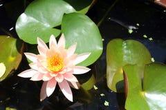 Lotusblommablomma på vattnet Royaltyfria Bilder