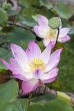 Lotusblommablommablomning Royaltyfri Bild