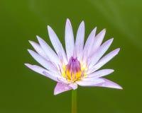 Lotusblommablommaisolate på white Royaltyfria Bilder