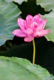 Lotusblommablomman Arkivbilder