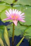Lotusblommablomman Arkivbild