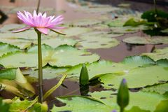 Lotusblommablomman Fotografering för Bildbyråer