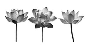Lotusblommablomman på vit bakgrund royaltyfria bilder