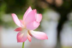 Lotusblommablommorna Arkivbild