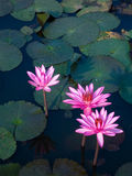 lotusblommadamm Royaltyfria Bilder