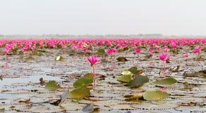 lotusblommadamm Royaltyfri Bild