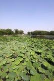 Lotusblommadamm i en park Arkivbild
