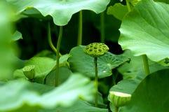 lotusblommafröskida Royaltyfri Fotografi
