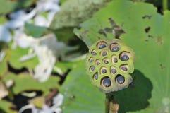 lotusblommafröskidan kärnar ur Royaltyfri Bild
