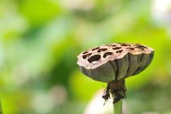 lotusblommafröskidan kärnar ur Royaltyfri Foto