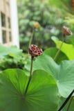 lotusblommafröskidan kärnar ur Arkivbild