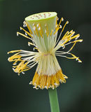 Lotusblommahjärta Fotografering för Bildbyråer