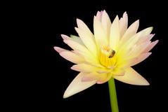 Lotusblommaisolaten Arkivfoton