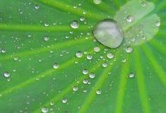 lotusblommaleaf med droppande royaltyfri bild