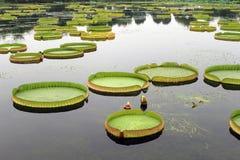 Lotusblommaleaves Royaltyfri Fotografi