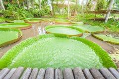lotusblommamagasin, stor bladlotusblomma Arkivfoton