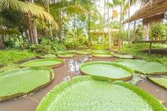 lotusblommamagasin, stor bladlotusblomma Royaltyfria Foton