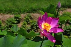 Lotusblomman Royaltyfria Foton