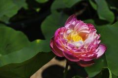 Lotusblomman Arkivfoton