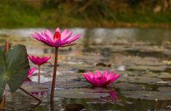 Lotusblomman Royaltyfria Bilder
