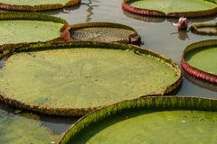 Lotusblomman Fotografering för Bildbyråer
